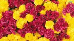 History of Chrysanthemums: Chrysanthemums