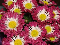 Chrysanthemums Flowers Wallpapers and photos