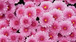2048x1152 Wallpaper chrysanthemums, flowers, pink, lot