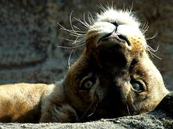 Lioness Wallpaper Lazy Wild Animal Close Up