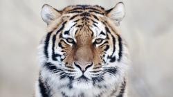 Close Up Tiger Wallpaper