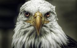 Bald Eagle Haliaeetus Leucocephalus Bird Close Up HD Wallpaper