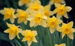 Close-Up Flowers Daffodils