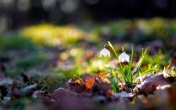 Close-Up Flowers Nature Snowdrops HD Wallpaper