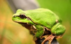 Green Frog Close-Up Nature