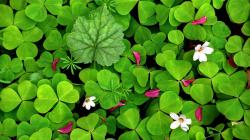 flowers spring clover wallpaper