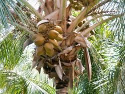 Coconuts nearly ripened on a Coconut palm.