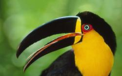 Colored toucan hd