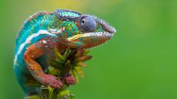 Colorful Chameleon 1920x1080 background