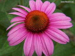 The height of the purple cone flower is 2 throw 3ft.And the purple cone flower has lavender or purple petals surrounding an iridescent red and orange. djc