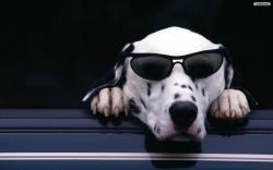 Cool Dog Wallpaper