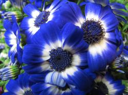 ... Nature dose cool. Flowers blue.   by salsol - Sham'C ♈