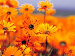 Cool Orange Flowers Wallpaper 10448