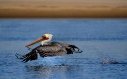 HD Wallpaper | Background ID:448459. 1920x1200 Animal Pelican
