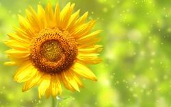 ... Pretty Sunflower Wallpaper ...