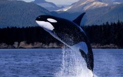 Killer whale wallpaper 1920x1200