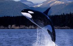 Killer whale wallpaper 1920x1200