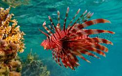 Lionfish Coral Reef