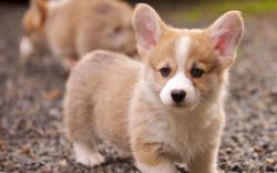 ... corgi-puppy-hd-wallpaper ...