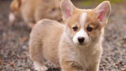 Corgi Wallpaper