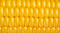 Monsanto Sells Genetically Modified Sweet Corn, But You Probably Aren't Eating It (Yet) | Co.Exist | ideas + impact