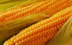 HD Wallpaper | Background ID:216270. 1920x1200 Food Corn