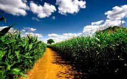 """Download the following Free Cornfield Wallpaper 21313 by clicking the orange button positioned underneath the """"Download Wallpaper"""" section."""