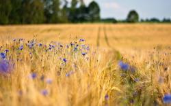 Cornfield flowers