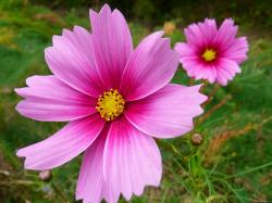 Pink Cosmos Flowers · Click here to download the full size (1600x1200) image