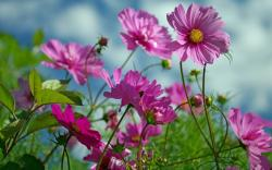 Flowers Wallpaper 1280x800: Pink Cosmos Flowers Wallpaper 1920x1200px