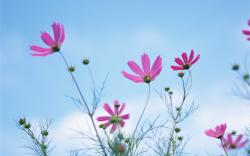 HD Wallpapers 7 Cosmos photo - Cosmos Flowers Wallpaper