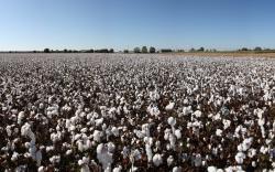 Cotton Field 32401 1280x800 px