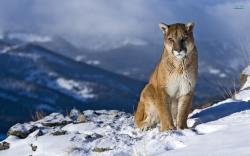Cougar Wallpaper 24716 2560x1920 px