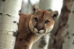 Cougar Wallpaper