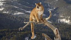 HD Wallpaper | Background ID:377116. 1920x1080 Animal Cougar