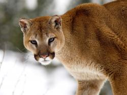 Description of Animal: The head of the cat is around. The ears stand up straight. Cougars have powerful forequarters, neck, and jaw that helps