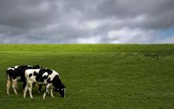 hd wallpapers cow animal beautiful desktop photos widescreen