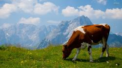 Cow Animal Hd Wallpapers Cool Desktop Pictures Widescreen