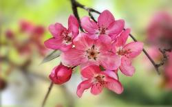 Crabapple blooms Wallpapers Pictures Photos Images. «