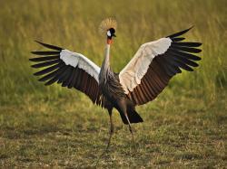 African crowned crane bird free wallpaper in free desktop backgrounds category: Crane-birds-wallpapers.