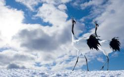 red crowned crane wide wallpaper