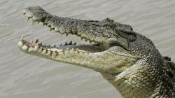 A saltwater crocodile snaps at a piece of meat on the Adelaide river, 35 miles