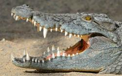 DOWNLOAD: crocodile with open mouth free picture 2560 x 1600