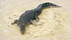salt water crocodile hd wallpaper high resolution images widescreen desktop background wallpaper high definition picture