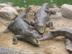 Marsh crocodiles in captivity in CrocBank