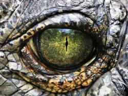 Crocodile desktop backgrounds,