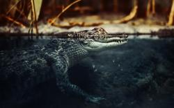Crocodile Water Nature