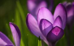 Crocus flower macro