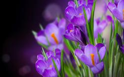 Crocus hd