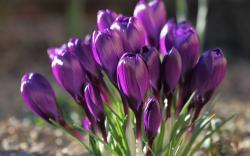 Spring purple crocus